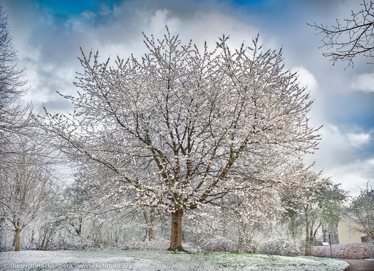 Blühender Baum im Schnee. Foto © Dietrich Hackenberg